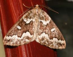 gray spruce looper (Caripeta divisata) (corvid01) Tags: insect moth looper graysprucelooper caripetadivisata lepidoptera geometroidea geometridae ennominae ourapterygini 6863