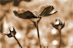 Three steps (Eisgrfin (very busy)) Tags: flower nature thesuperbmasterpiece updatecollection eisgrfin theoriginalgoldseal