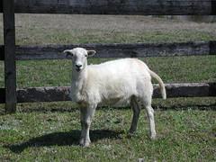 Pregnant ewe lamb
