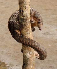 Poledancing for Darwin (zimbart) Tags: africa mammals manis drcongo manidae manistricuspis boyekoliebale whitebelliedpangolin
