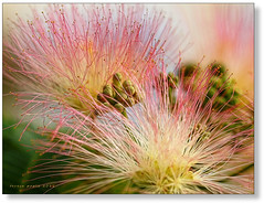 albizia flowers (greek sunshine (on and off)) Tags: pink flowers flower tree teresa albizia greeksunshine