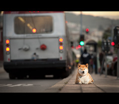 Sometimes I Sleep on the Job (kaoni701) Tags: city portrait urban dog bus night project nikon funny bokeh muni suki shibainu cinematic 52 cls shibaken 70200f28  strobist d700 sb900 52weeksfordogs