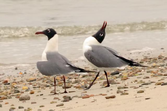 courtship gulls 4