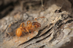 overwintering ant (< 5 mm), Myrmica cf. rubra (Franziska Bauer) Tags: insect march ant insekt deadwood overwintering arthropoda metamorphosis metamorphose ameise formicidae berwinterung holometabolie