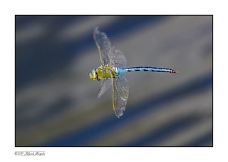 Emperor Dragonfly (Anax imperator) in flight 3