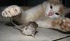 como juega el gato maula con el misero raton (.el Ryan.) Tags: argentina cat moments may gatos mendoza michi momentos catmoments