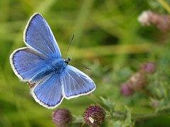 Common Blue butterfly (Megashorts) Tags: uk blue macro nature 35mm butterfly bug insect wildlife buckinghamshire olympus creepy milton keynes common zuiko crawly commonblue tattenhoe polyommatusicarus e510 zd commonbluebutterfly mkf 35mmmacro35 abigfave mkftattenhoe