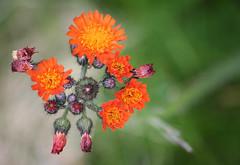 florals - orange hawkweed (johnny the cow) Tags: flowers wales cymru aberystwyth ceredigion llanafan