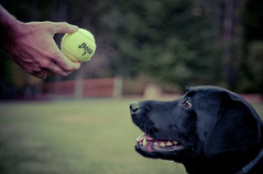 Fetch! (ladybugrock) Tags: coco shawn tennisball fetch focused week3 concentrating msh0809 52weeksofcoco msh08091 readyforthethrow wemadeherwaitalooooonnnngggtime sheneverbrokeeyecontactwiththeball