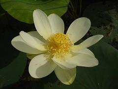 American Lotus 1 - Nelumbo lutea