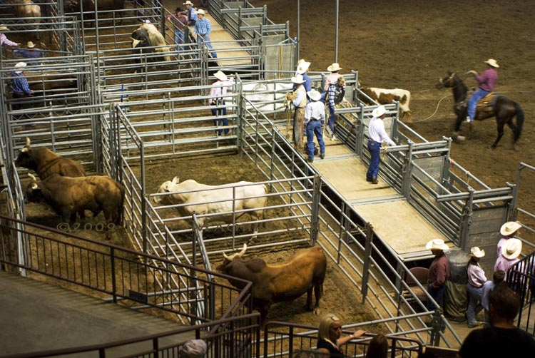 bulls at rodeo