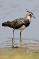 Lapwing - D2X4729 (nigel pye) Tags: bird nature wildlife lapwing