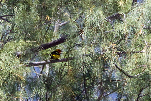 516_westernTanager