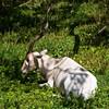 CD660 Addax (listentoreason) Tags: usa nature animal america canon mammal zoo illinois unitedstates favorites places antelope brookfield bovidae ungulate animalia mammalia vertebrate brookfieldzoo chordate addax chordata artiodactyla score35 ef28135mmf3556isusm bovid addaxnasomaculatus hippotraginae chicagozoologicalpark screwhornantelope animalidentification grazingantelope