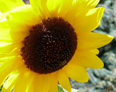 The Sun Always Comes Out Again (Glenn Harris (Clintriter)) Tags: macro yellow closeup oregon sunny sunflower hoodriver simplyflowers impressedbeauty auniverseofflowers awesomeblossoms