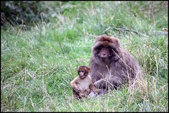 Barbary Macaque - Adult and baby (GraphicReality) Tags: canon monkeyforest barbarymacaque 450d