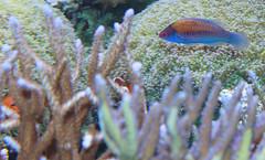 smithsoniannaturalhistorymuseum fishspeciesgroup taxonomy:binomial=cirrhilabruscyanopleurafish