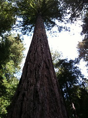 Redwood, Muir Woods