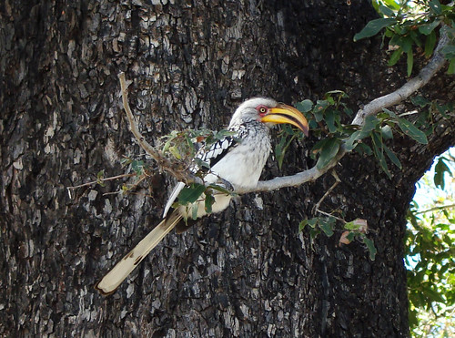 DSC08195 Southern Yellow-billed Hornbill