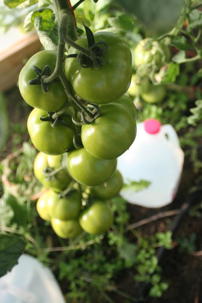 Tomato Clusters