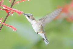 Rainy Day Hummingbird (Woolmarket100) Tags: bird mississippi hummingbird wildlife fav15 woolmarket mississippigulfcoast nikond200 nikon80400mmvr views25