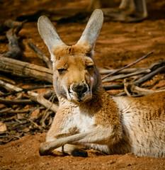 Kangaroo, Desert Park, Australia