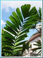 Frond of Ptychosperma macarthurii (Cluster Palm, Macarthur Palm)