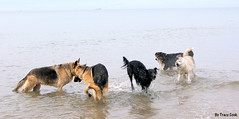 PLAY, PLAY AND MORE PLAY!!! (Lady Of The Hounds) Tags: dog pet animal silver ky hound holly pooch alfie zal