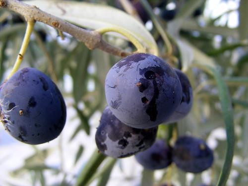 Amanhã é dia de tratar das oliveiras.... (by Loca....)
