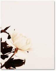If you want to see some beauty... (Teka e Fabi®) Tags: white flores flower nature beauty rose garden natureza flor rosa jardim distillery branca otw tekaefabi awesomeblossoms flickrflorescloseupmacros