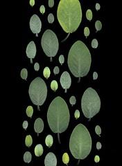21778 Salvia officinalis (horticultural art) Tags: leaves band sage salvia getty horticulture salviaofficinalis horticulturalart 136489415