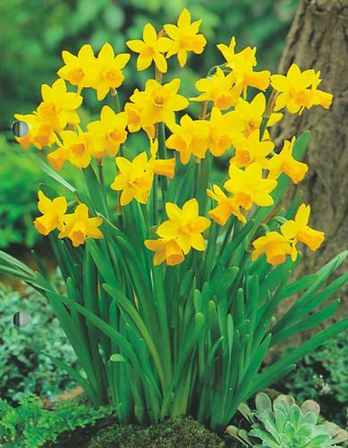 Narcis u0026#39;Tu00eate-u00e0-tu00eateu0026#39; (Narcissus cyclamineus u0026#39;Tu00eate-u00e0-Tu00eate ...
