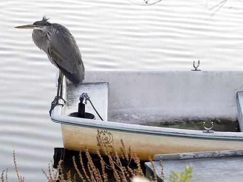 heron in charles boat