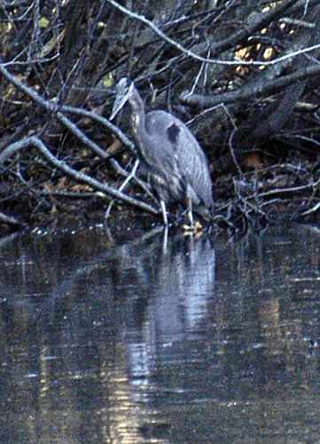 salem end heron standing