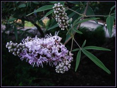 Vitex agnus-castus - flowering Chaste-tree
