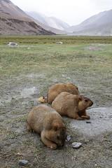_MG_9266 copy (samyukta_18) Tags: ladakh samyukta samyuktalakshmi marmoths