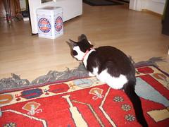kitten stalks the dorset knobs