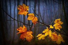 Last leaves (algo) Tags: autumn trees england leaves woodland photography licht interestingness woods topf50 topv555 chilterns herbst explore algo blaetter wald baum topv100 baeume treetrunks mywinners explore119 91125
