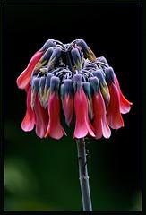 Some kind of flower (TT_MAC) Tags: flower nature garden maui tropicalflower blueribbonwinner coth kalanchoedelagoensis chandelierplant fantasticflower anawesomeshot platinumheartaward simplythebest~flowers