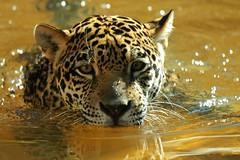 Jaguar (Panthera onca) (Dave 2x) Tags: usa zoo maya florida sony jaguar palmbeachzoo pantheraonca 70400mm sonya900 daveirving httpwwwdaveirvingwildlifephotographycom