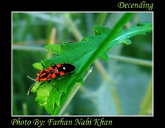 Final Decend (Farhannk) Tags: pakistan red black green insect leaf focus sharp jungle ladybug farhan decending decend natiagali farhannabikhan