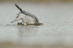Grey Phalarope (Phalaropus fulicarius) (m. geven) Tags: bird nature animal feeding natuur diving rare dier tam confident avian vogel seabird saltwater avifauna gelderland migrant shorebird onderwater foraging winterplumage nld zeldzaam winterbird nederlandthenetherlands greyphalarope phalaropusfulicarius firstwinter binnenland zeevogel steltloper vertrouwd rossefranjepoot winterkleed wintervogel doortrekker eerstewinter onderduiken gemeentemontferland foeragerend zoutwater thorshnchen phalaropebeclarge etenzoeken