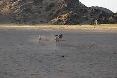 saluki hunt 11 (shine_on) Tags: rabbit dogs car truck puppy desert offroad 4x4 dunes hunting saudi arabia toyota suzuki jeddah suv fj landcruiser saudiarabia cruiser hunt saluki  fj40 fjcruiser    bahra    feshfesh