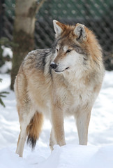 IMG_1926.jpg (Mark Dumont) Tags: snow animals mammal zoo wolf mark cincinnati mexican dumont