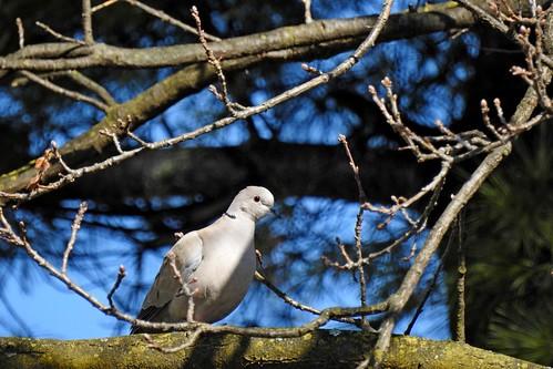 """Türkentaube """"Streptopelia decaocto"""" Eurasian Collared Dove"""