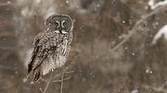 Chouette lapone / Great Gray Owl (Alain Daigle) Tags: chouettelapone greatgrayowl