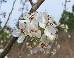 wild pear blossoms - now (Vicki's Nature) Tags: blossoms pear wild white pink purple dof bokeh tree biello georgia february vickisnature canon s5 5230