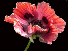Pleasures (Border Mac) Tags: red black flower poppy flowersplants pleasures naturesfinest bej fz18 bordermac