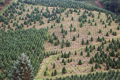 in the pines (catbraces) Tags: pinetrees onahill treepatterns notgoodenoughforchristmas