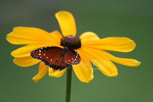 butterfly4web